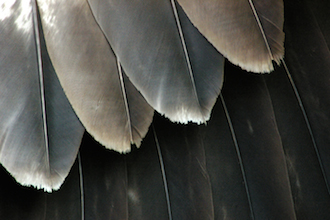 eagle-feathers