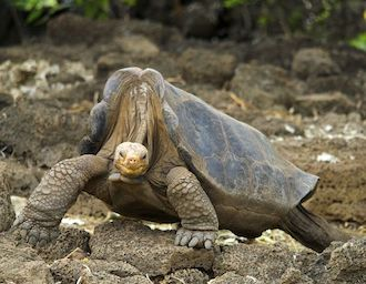 Pinta Island Giant Galapagos Tortoise / Lonesome George (Chelonoidis nigra abingdoni) Portrait Controlled conditions Extinct Santa Cruz Island, Galapagos, Ecuador